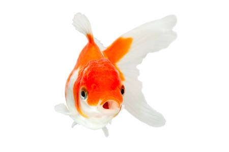 fishtank: oranda goldfish isolated on white, high quality studio shot manualy removed from background so the finnage is complete