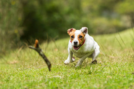 fetch: jack russel parson terrier chasing his toy at full speed, low angle fast action shot