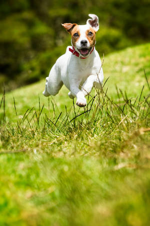 terriers: jack russel parson terrier running  toward the camera, low angle high speed shot Stock Photo