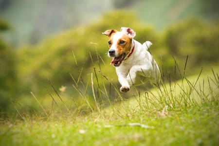 jack russel parson terrier running  toward the camera, low angle high speed shot Stock Photo