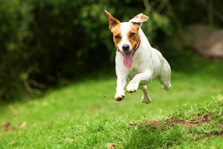 In Richtung der Kamera Parson Jack Russel Terrier läuft, niedrige Winkel Hochgeschwindigkeitsaufnahme Standard-Bild
