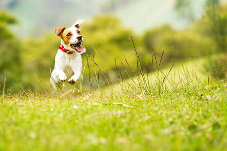 dog running: jack russel parson terrier running  toward the camera, low angle high speed shot Stock Photo
