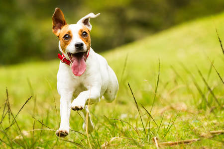 jack russel parson terrier running  toward the camera, low angle high speed shot Banque d'images