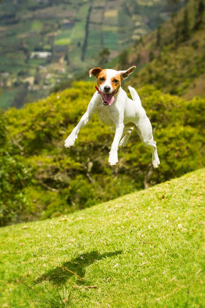fetch: jack russel parson terrier female practing shes ballet Stock Photo