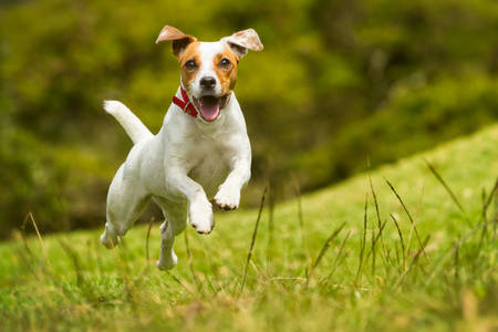 jack russel parson terrier running  toward the camera, low angle high speed shot Foto de archivo