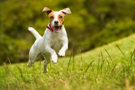 perros jugando: Jack Russel Parson terrier corriendo hacia la c�mara, bajo el �ngulo de disparo de alta velocidad
