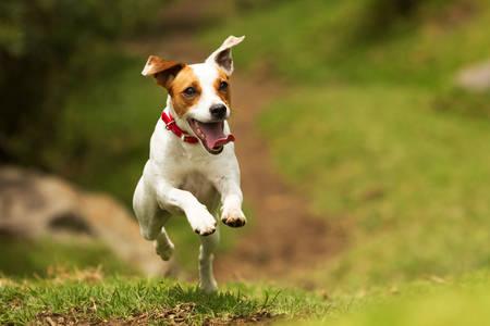 jack russel teriér farář běží ke kameře, nízký úhel vysokorychlostní střela