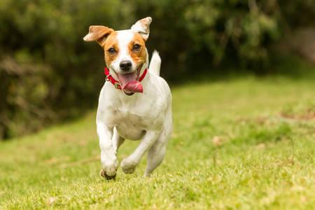 In Richtung der Kamera Jack Russel Parson Terrier läuft, niedrige Winkel Hochgeschwindigkeitsaufnahme