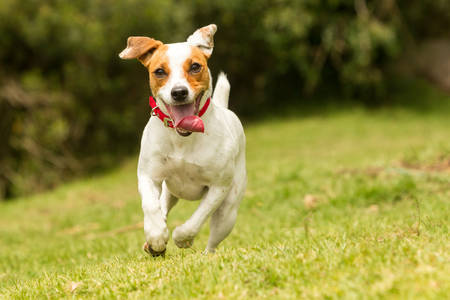 jack russell terrier: jack russel parson terrier running  toward the camera, low angle high speed shot Stock Photo