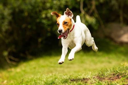 jack russel parson terrier running  toward the camera, low angle high speed shot Foto de archivo