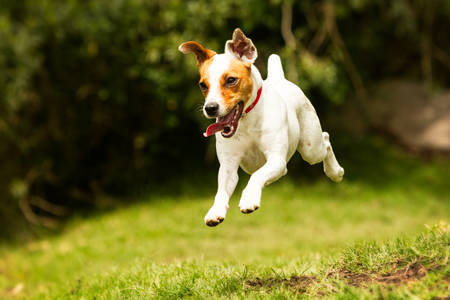 jack terrier: jack russel parson terrier running  toward the camera, low angle high speed shot Stock Photo