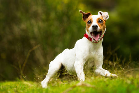 jack russel parson terrier running  toward the camera, low angle high speed shot Фото со стока
