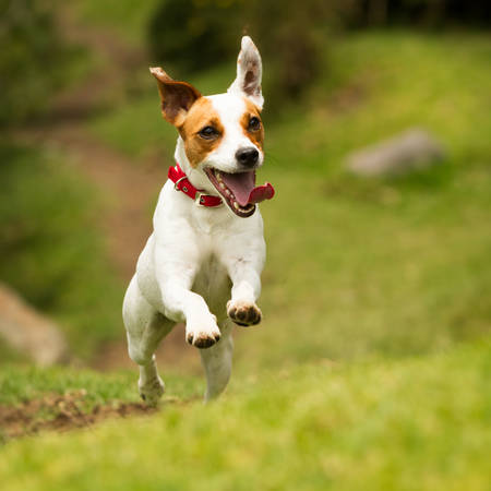 jack russel parson terrier running  toward the camera, low angle high speed shot Archivio Fotografico