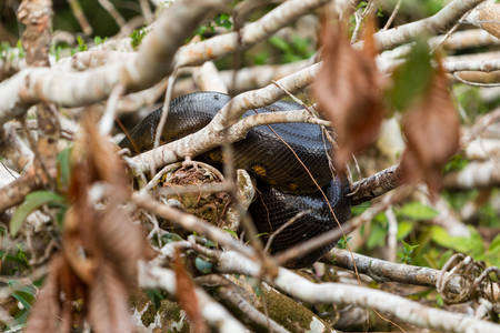 coiled snake: Anaconda snake resting on bracnhes , Cuyabeno National Park, Ecuador, medium shot Stock Photo