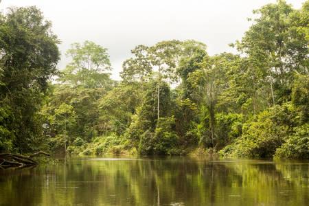 vegatation: Cuyabeno River National Park , typical jungle vegatation
