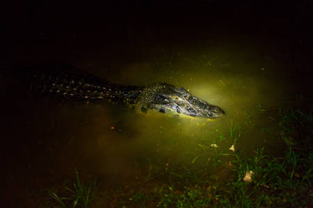 Black caiman by night , shot with flash light by night, this is how you see them from tourist canoe. photo