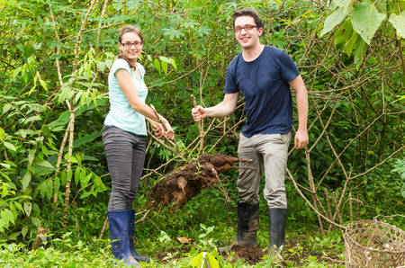 Couple of european tourists extracting yuca or cassava plant from the ground, typical activity in Ecuadorian jungle tourism