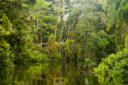 Typical Amazonian vegetation in Ecuadorian primary jungle Stok Fotoğraf