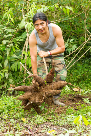 indigenous: Indigenous guide showing of cassava roots