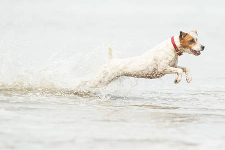 jack russell terrier: Jack Russell terrier running at full sped on the beach