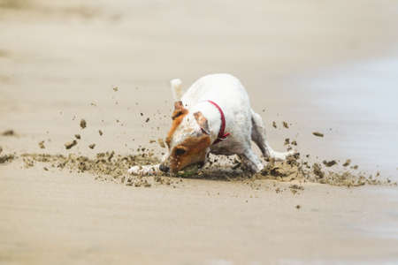 action shot: Jack Russell terrier stopping on the ball, high speed action shot