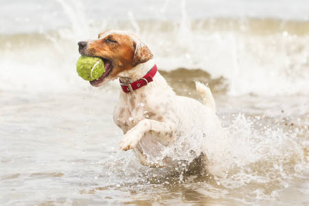 jack terrier: Jack Russell terrier running on the beach with his favourite toy