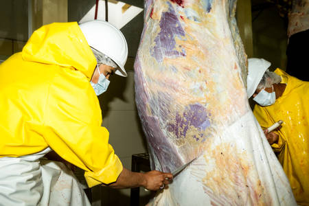 skinning: Workers carefully removes cattle hide in a slaughterhouse, animal skin is further used in leather industry