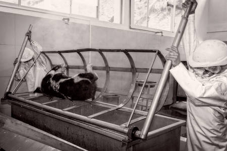 soften: Workers removing a pig carcass from scalding tub using human power, operation meant to soften the animal hair for easier removal Stock Photo
