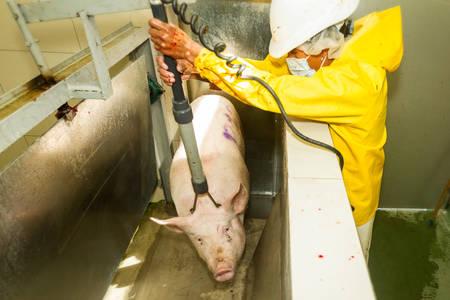 convulsión: Imagen rara de un cerdo se sorprendió eléctricamente por el carnicero exactamente en el momento de la descarga en un matadero, se centran en la cabeza del animal