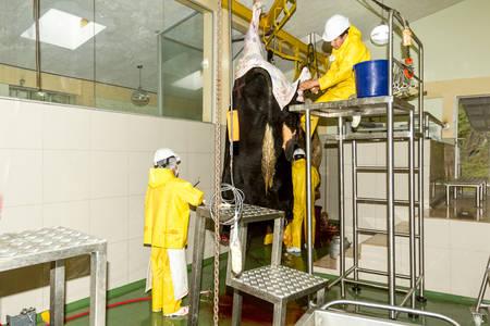 karkas: Abattoir slagers werken op vee karkas in een slachthuis
