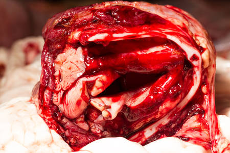 respiratory system: Cattle respiratory system filled with fresh warm blood from a recently killed animal in a slaughterhouse