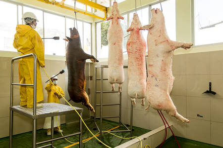 carcasses: Slaughterhouse workers singeing pork carcasses in the red meat industry