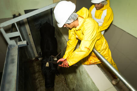 Slaughterhouse workers using captive bolt pistol to knock off a cattle
