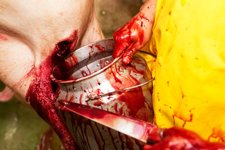 merciless: Slaughterhouse worker harvesting pork blood that will be further used in red meat industry for various specialties