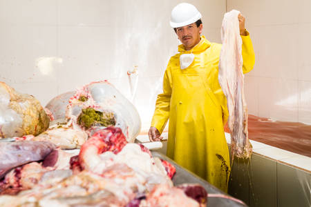 rumen: Slaughterhouse facility where animal organs are cleaned and packed for further processing, worker holding a cattle organ