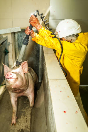 convulsion: Rare image of a pig being electrically stunned by the butcher exactly in the moment of discharge in a slaughterhouse Stock Photo