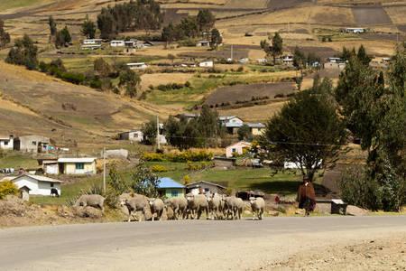 in herding: Salasaca, Ecuador - 16 October 2012: Old Woman Herding Sheep In Salasaca On October 16, 2012