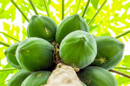 amazonia: Cluster Of Papaya Fruits In The Tree Shot In Ecuadorian Amazonia Stock Photo