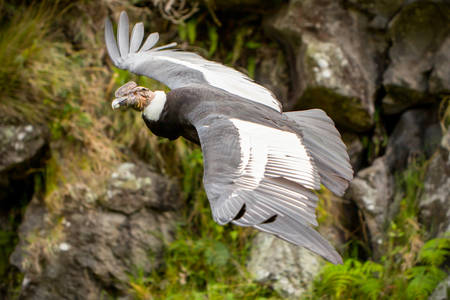 ruff: The Andean Condor Is A Large Black Vulture With A Ruff Of White Feathers Surrounding The Base Of The Neck And Especially In The Male Large White Patches On The Wings Stock Photo