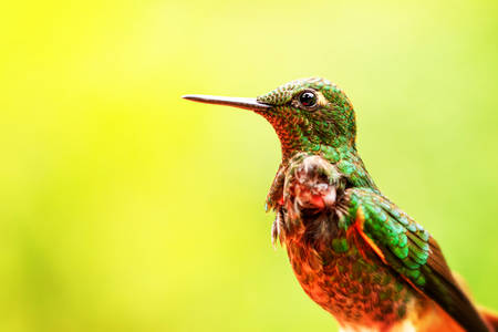 endemic: Eriocnemis Luciani Rare Endemic Hummingbird From Ecuador