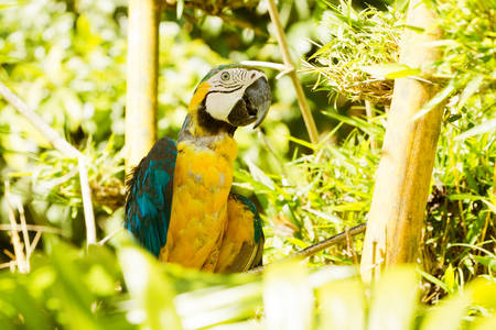amazonia: Blue And Yellow Macaw Resting On A Branch In Ecuadorian Amazonia Shot In The Wild