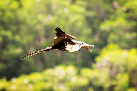 frigate: Frigate Bird Gliding Around Fernandina Island Galapagos