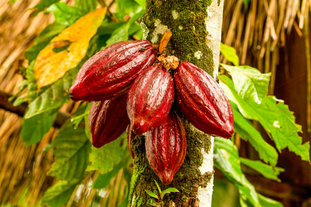 Cocoa Fruit In The Tree Red Variety Is Considered To Be The Best Shot In Ecuadorian Jungle Фото со стока
