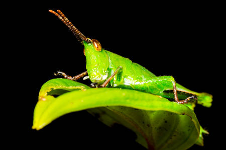 siting: Small Grasshopper Siting On A Leaf