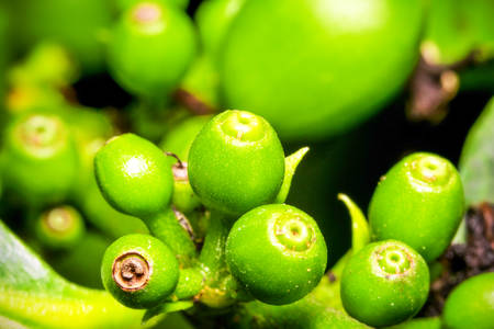 smallest: Very Small Cluster Of Green Coffee Fruits Shallow Depth Of Field Focus On The Smallest Ones