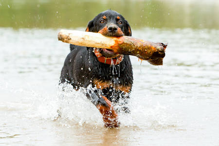 k 9: Young Rottweiler Pup Retrieving A Huge Wood From The Water