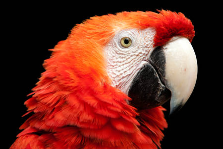 extends: The Scarlet Macaw Is A Large Colorful Macaw It Is Native To Humid Evergreen Forests In The American Tropics Range Extends From Extreme South Eastern Mexico To Amazonian Peru Bolivia And Brazil Stock Photo