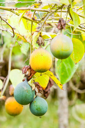 not ready: Granadilla Fruit Cultivation In Ecuador Andes Mountains Also A Passion Fruit Green And Yellow Fruits Not Yet Ready To Be Picked