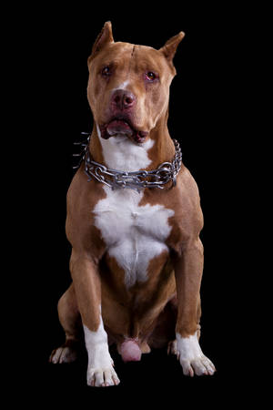 Adult Champion American Pit Bull Studio Black Isolated Portrait