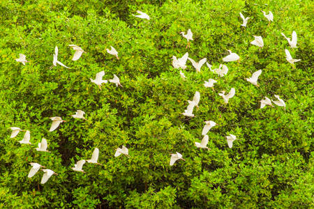 egrets: Flock Of White Egrets Flying Against The Mangrove Forest Stock Photo